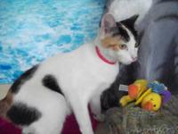 Domestic Short Hair - Lily - Small - Adult - Female -