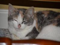 Domestic Short Hair - Lincoln Kitties- Serena - Medium