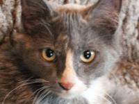 Domestic Short Hair - Lita - Medium - Baby - Female -