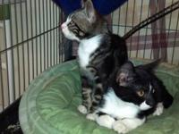 Domestic Short Hair - Litter Of Kittens: Ralfie And