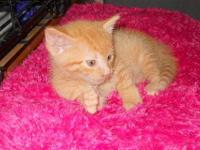 Domestic Short Hair - Little Fry - Medium - Baby - Male