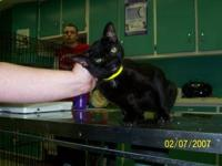 Domestic Short Hair - Lola - Medium - Adult - Female -