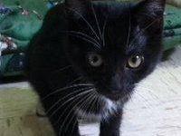 Domestic Short Hair - Loraina - Small - Young - Female