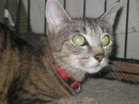 Domestic Short Hair - Loretta - Medium - Young - Female