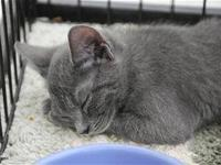Domestic Short Hair - Lucille - Small - Young - Female