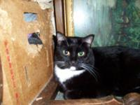 Domestic Short Hair - Lucky - Medium - Adult - Male -