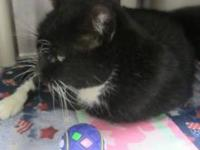 Domestic Short Hair - Lucky - Small - Senior - Male -