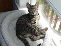 Domestic Short Hair - Lucky - Small - Young - Male -