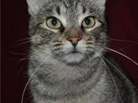Domestic Short Hair - Lucy - Medium - Adult - Female -