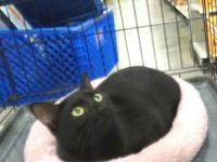 Domestic Short Hair - Lucy - Small - Young - Female -