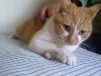 Domestic Short Hair - Luke - Medium - Adult - Male -
