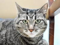 Domestic Short Hair - Lulu - Large - Adult - Female -