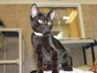 Domestic Short Hair - Lulu - Medium - Baby - Female -