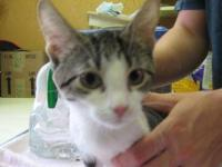 Domestic Short Hair - Lulu - Small - Young - Female -