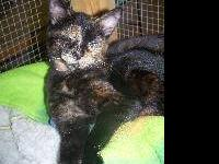 Domestic Short Hair - Luna - Small - Young - Female -