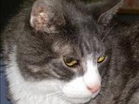 Domestic Short Hair - Mack - Medium - Senior - Male -