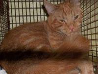 Domestic Short Hair - Mackaylee - Petsmart - Medium -