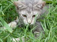 Domestic Short Hair - Mallory - Medium - Baby - Female