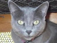 Domestic Short Hair - Mama Cat - Medium - Adult -