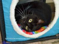 Domestic Short Hair - Mama - Medium - Adult - Female -