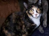 Domestic Short Hair - Mandy - Small - Young - Female -