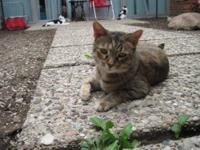 Domestic Short Hair - Maria - Medium - Adult - Female -