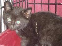 Domestic Short Hair - Marlo - Small - Baby - Male -