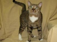 Domestic Short Hair - Marshmellow - Medium - Adult -