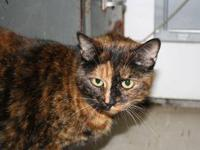 Domestic Short Hair - Maxine - Medium - Adult - Female