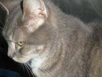 Domestic Short Hair - Maybell - Medium - Adult - Female