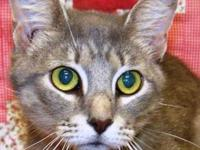 Domestic Short Hair - Meezie - Small - Young - Female -