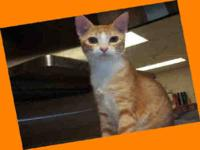 Domestic Short Hair - Mel - Small - Young - Male - Cat