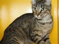 Domestic Short Hair - Melissa - Medium - Adult - Female