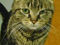 Domestic Short Hair - Mercury - Medium - Adult - Male -