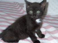 Domestic Short Hair - Michael - Medium - Baby - Male -