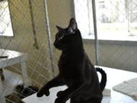 Domestic Short Hair - Michaelangelo - Medium - Adult -