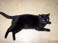 Domestic Short Hair - Mickey - Medium - Adult - Male -