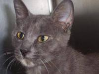 Domestic Short Hair - Mila - Medium - Adult - Female -
