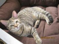 Domestic Short Hair - Millie - Small - Young - Female -