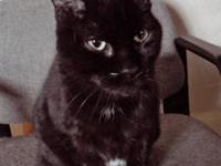 Domestic Short Hair - Milly - Medium - Adult - Female -