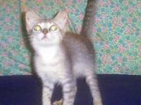 Domestic Short Hair - Mimi $60 10wks - Small - Baby -