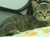 Domestic Short Hair - Mindy - Small - Baby - Female -