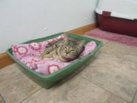 Domestic Short Hair - Miss Friendly - Medium - Young -