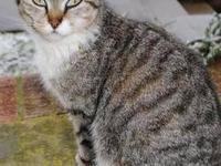 Domestic Short Hair - Miss Kitty -courtesy - Medium -