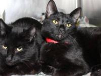 Domestic Short Hair - Missy - Large - Adult - Female -