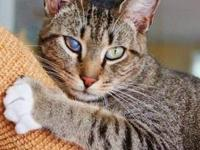 Domestic Short Hair - Missy - Small - Adult - Female -