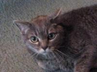 Domestic Short Hair - Misty1 - Large - Senior - Female