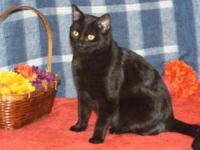 Domestic Short Hair - Mitch - Medium - Young - Male -