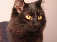 Domestic Short Hair - Mitus - Medium - Young - Male -