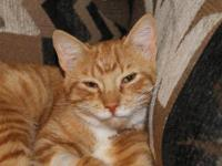 Domestic Short Hair - Mobey - Medium - Young - Male -